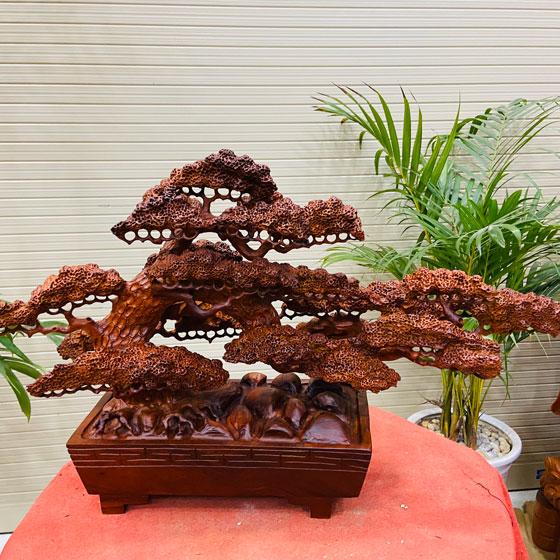 bonsai cây tùng gỗ hương dài 70